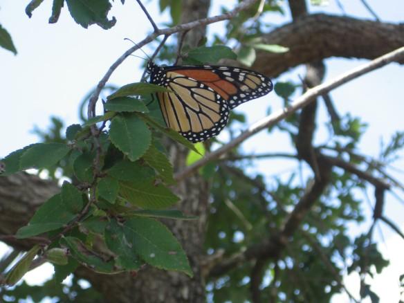 Monarch_Resting