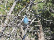 Bluebird_Tree