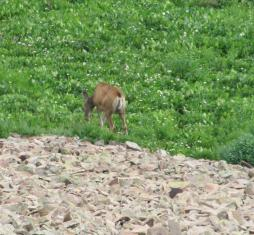 And a doe grazing.