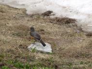 A robin at the edge of the snow pack at Silver Basin and Yankee Boy Basin.