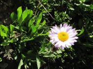 Some sort of daisy
