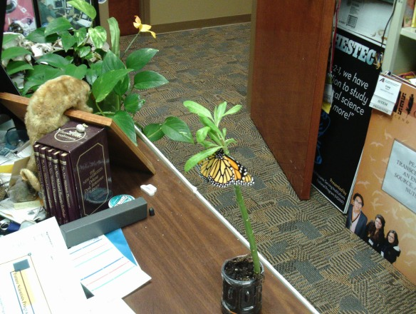 "A newly-emerged Monarch, testing its wings in Dr. Craig Wilson's College Station-based USDA office, which features many treasures, including a stuffed sloth from Brazil visible at top left of frame. ""It was gifted to me by a friend who received it 50 years ago from an old sea captain (pirate!),"" Wilson said. ""I keep it close by me to remind me what happens when one is slothful."" (Credit: Craig Wilson.)"